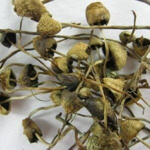 liberty cap spores for sale